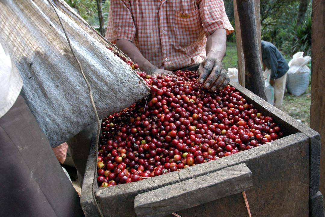 Worker Sorting Coffee Fruits