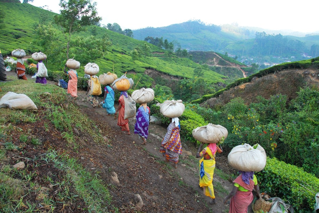 Women carrying tea bundles