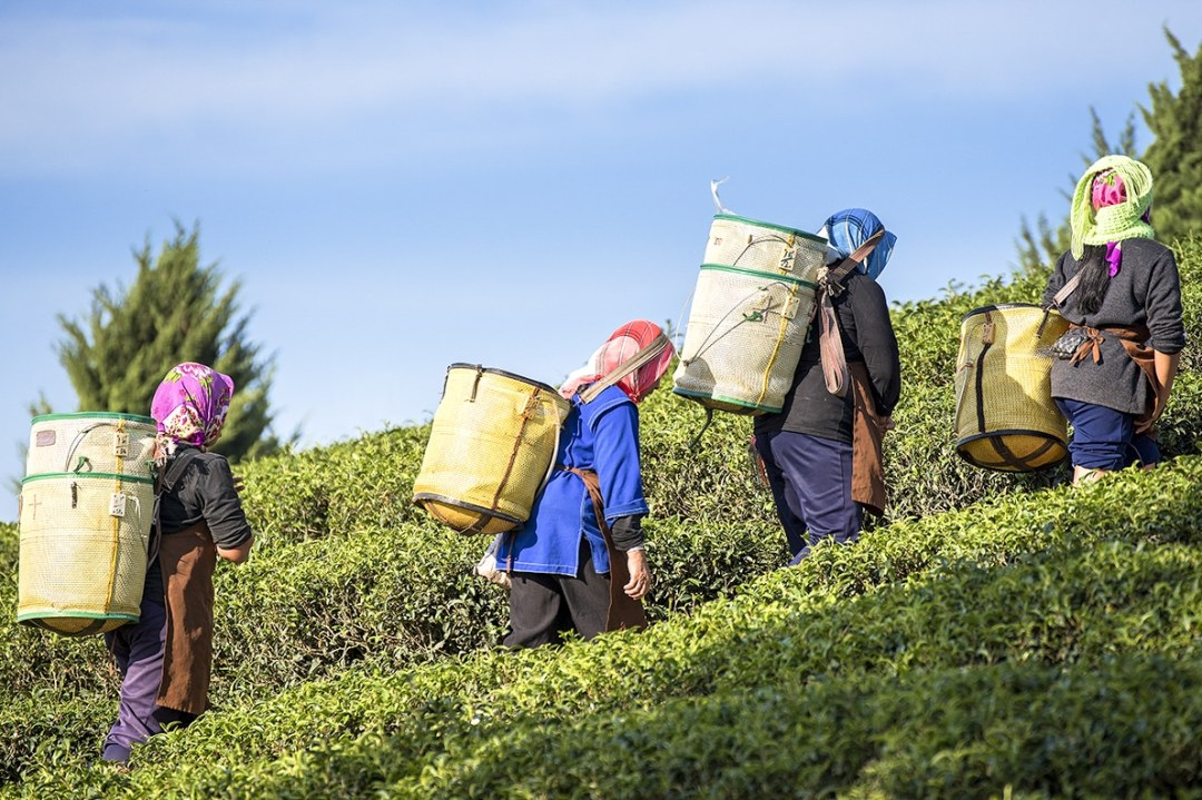 Workers Carrying Baskets of Tea up a Hill