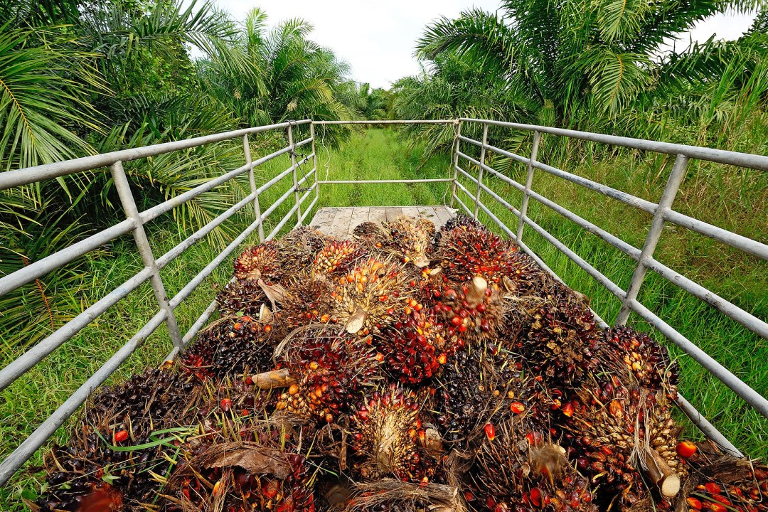 palm oil plants on the back of a truck