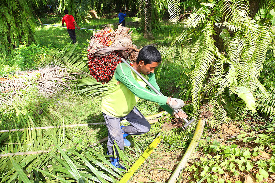 A palm oil worker carries palm plants