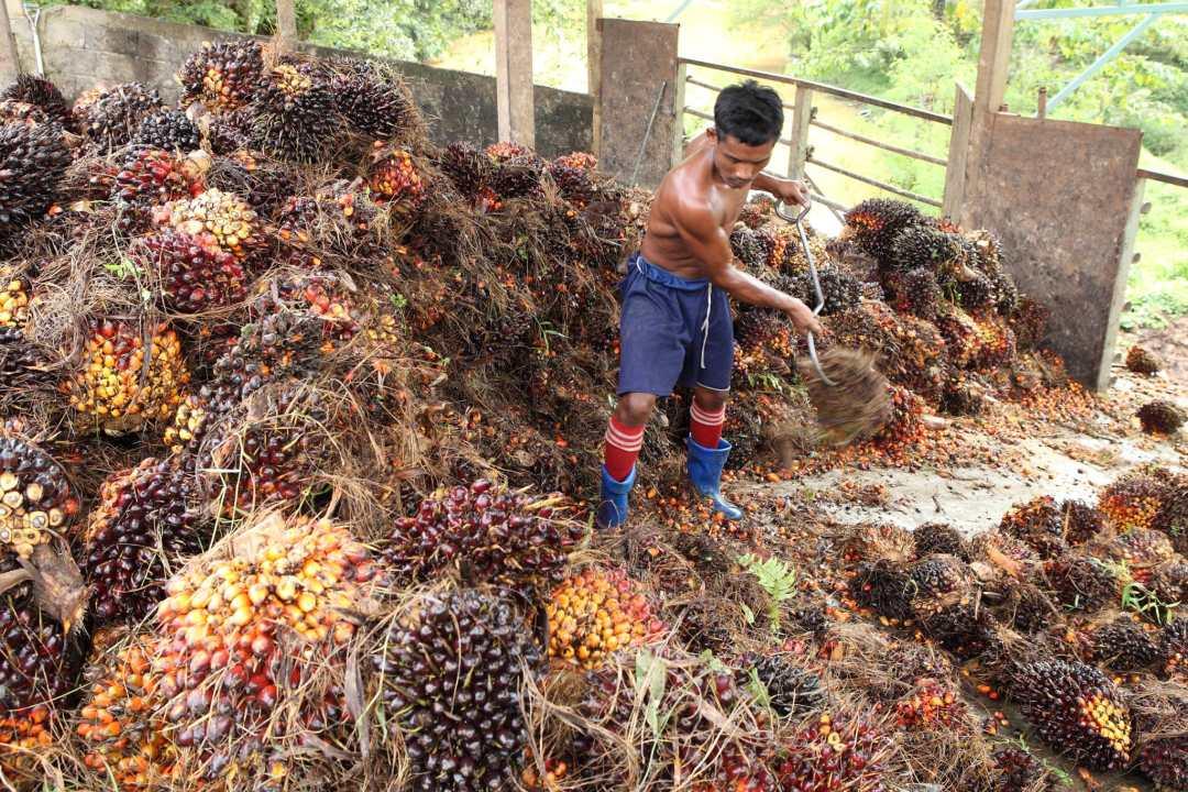 A palm oil plantation worker rakes palm plants