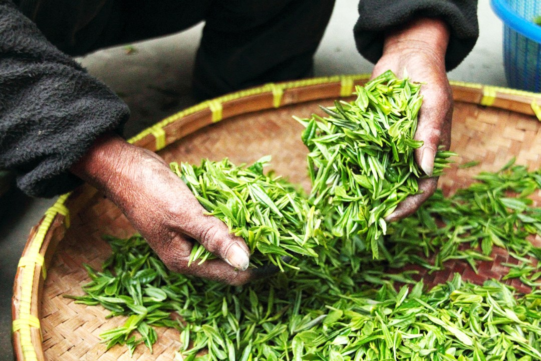 A Tea Plantation Worker Sifts through Tea Leaves