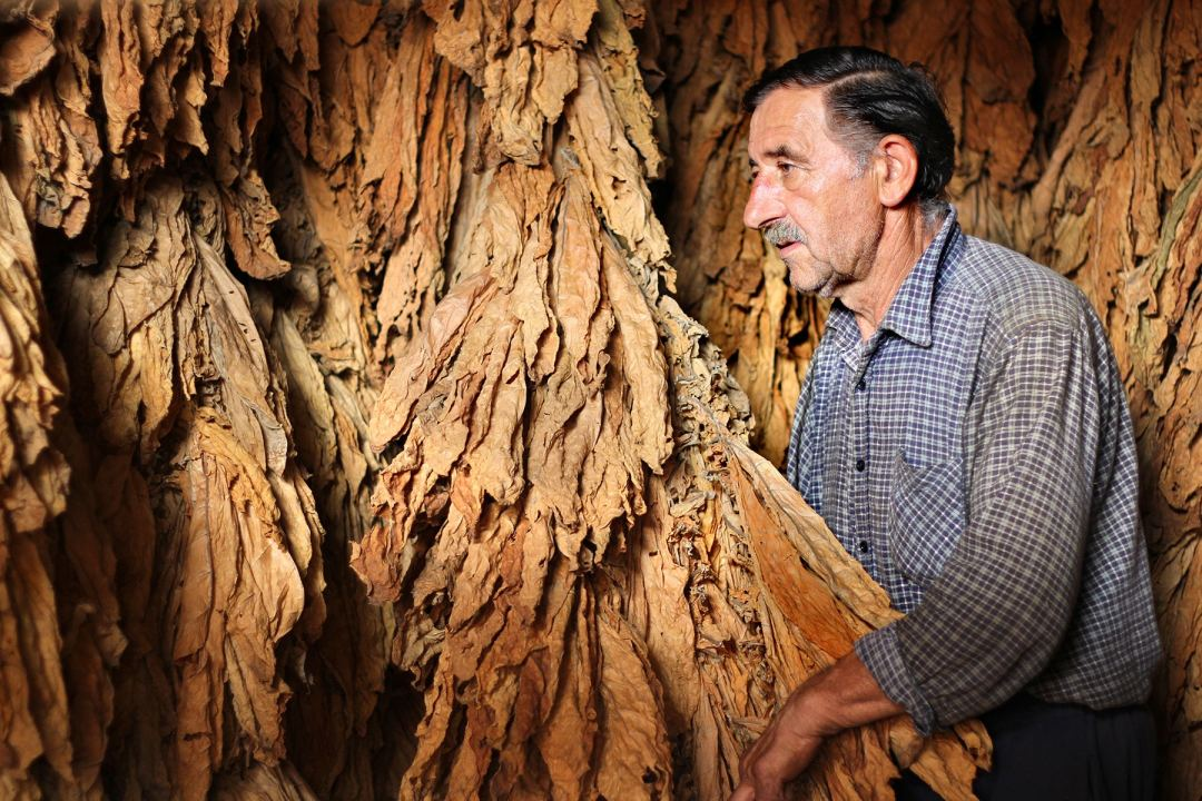 Tobacco Worker with Dried Leaves