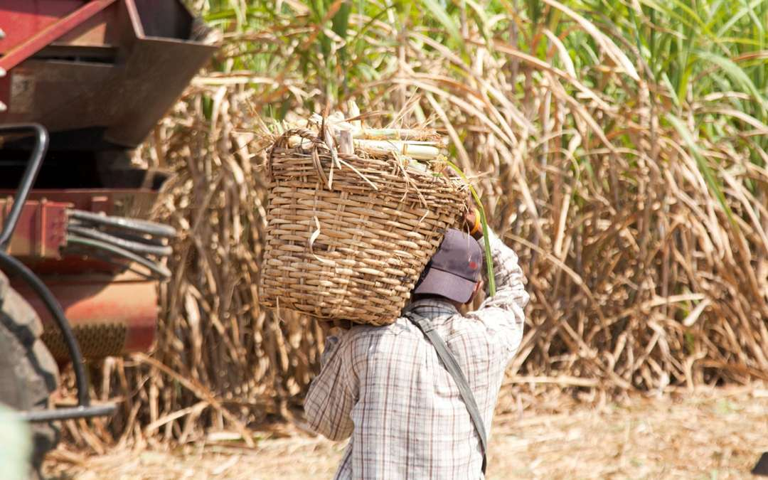 Report Finds Labor Risks in the Guatemalan Sugar Sector