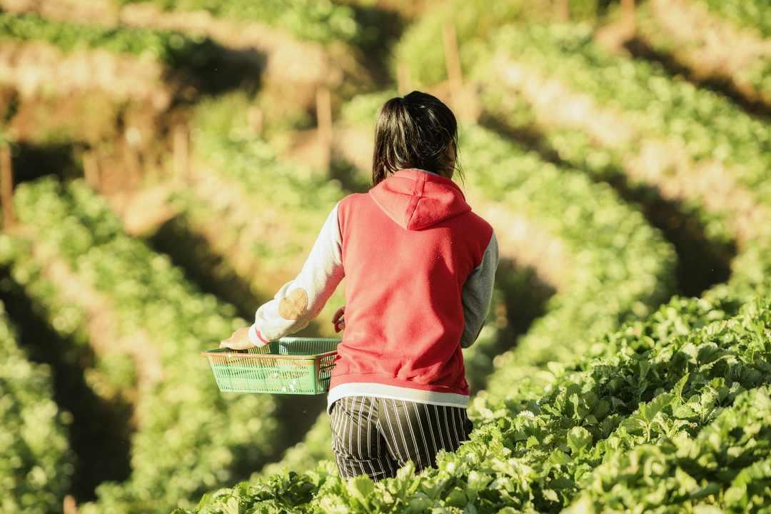 A worker walks through a strawberry farm