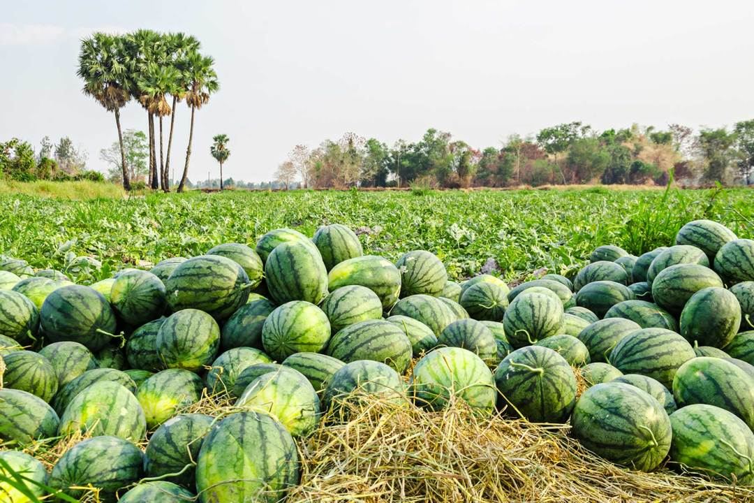 Melon pieces