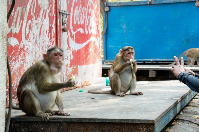 Rhesus macaque monkeys eating on Elephanta Island India. Veritru - The Day I Got My Ice-Cream Stolen By A Monkey
