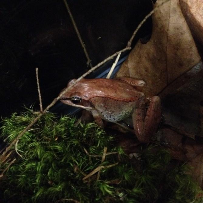 Adult wood frog. Photo credit: Tom Hastings
