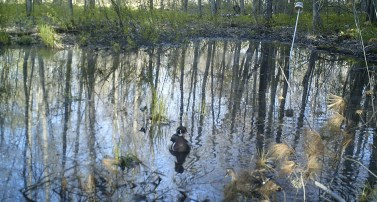 A pair of Wood Ducks dabble in a vernal pool. The colorful male is at the center of the photo and the somewhat drabber female is partly obscured by a pine bough at the lower right corner of the photo. Photo credit: Pools and People Trail Camera