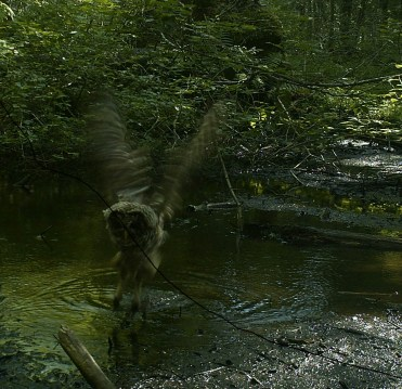 A Barred Owl skims the surface of a vernal pool. Perhaps this owl caught a meal from the pool. Photo credit: Pools and People Trail Camera