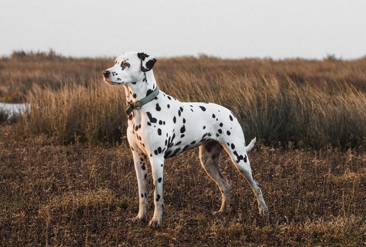 il cane pompiere - Dalle caserme dell'800 a Paw Patrol