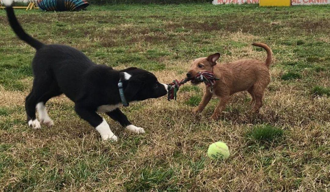 Veronadogs Seth gioca con un altro cucciolo