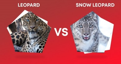 Leopard VS Snow Leopard / Difference between Leopard and Snow Leopard