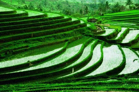 Life of Rice