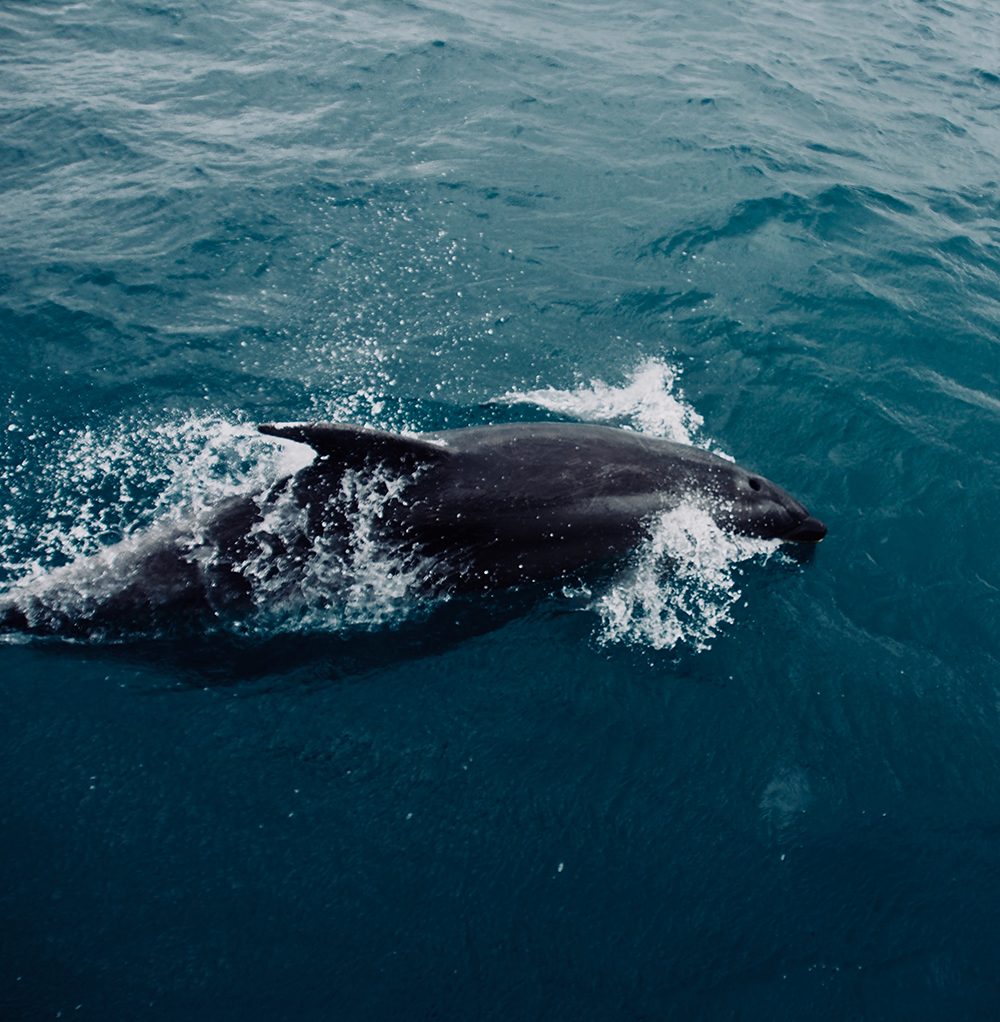 Bay of Island Dolphins