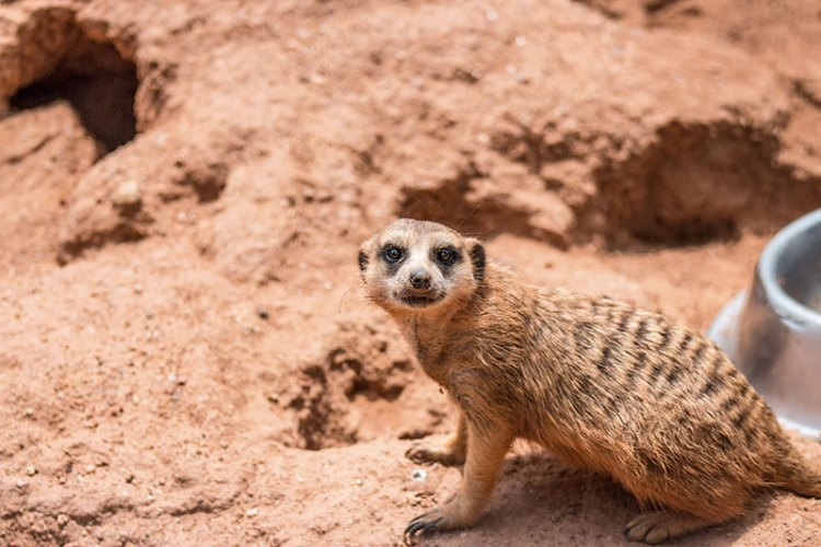 A meerkat (a member of the mongoose family)