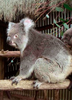 A friendly koala.