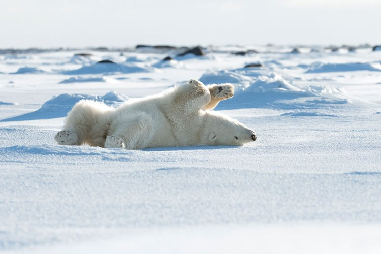 A female bear playing in the snow
