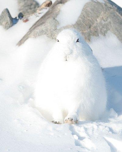 An Arctic hare
