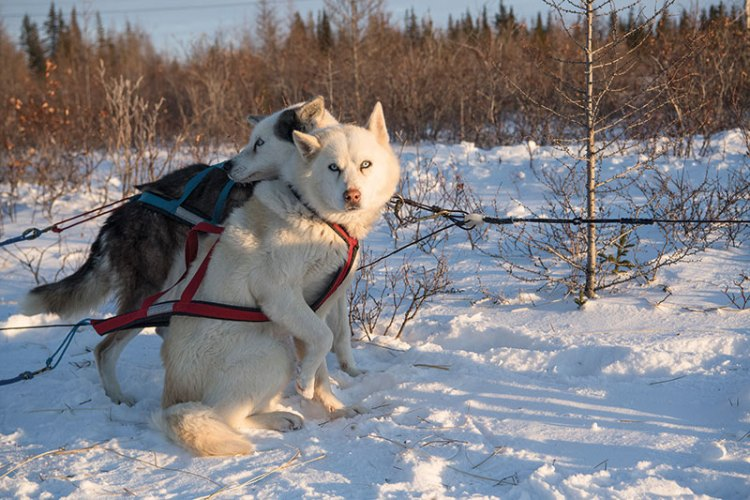 Alaskan huskies​ ​leading a dog sled at Churchill