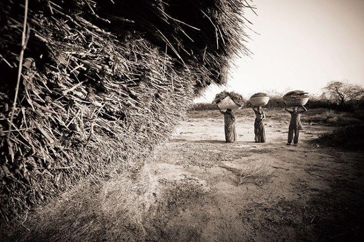 Bishnoi women carrying dry wheat near Jodhpur, Rajasthan