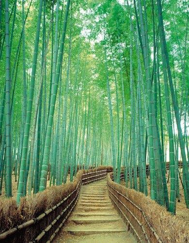 Sagano Bamboo Grove, Arashiyama