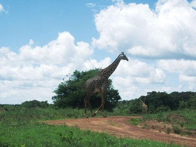 Just strolling: A giraffe in Shimba hills
