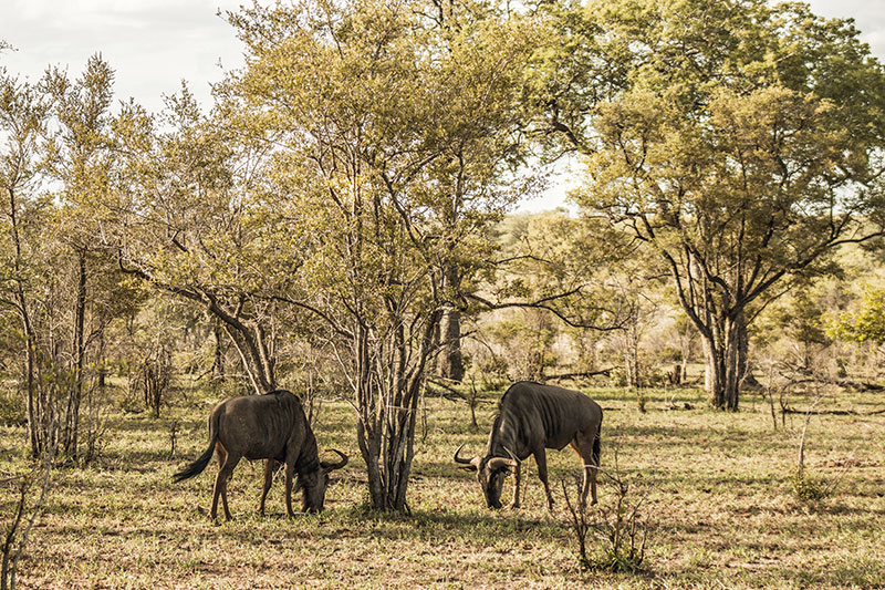 A pair of wildebeest graze industriously