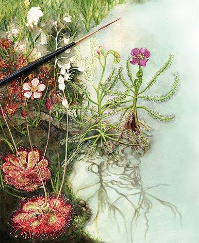 Drosera lunata, Drosera indica and Drosera burmannii: Sundews painting in progress, watercolour on paper.