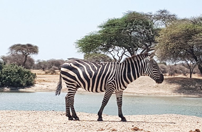 A zebra at Tarangire National Park Tanzania