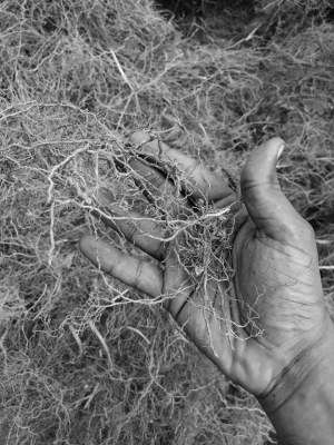 Vetiver harvest