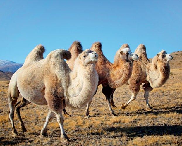 Camels at the Khongoryn Els dunes