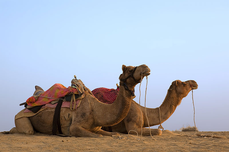 Camels awaiting their passengers, Jaisalmer