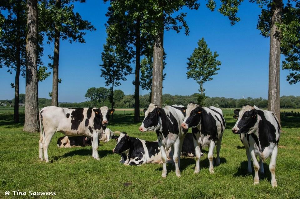 Vlaamse koeien