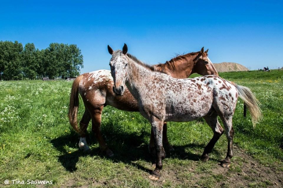 Deze paarden poseerden maar wat graag voor de lens.