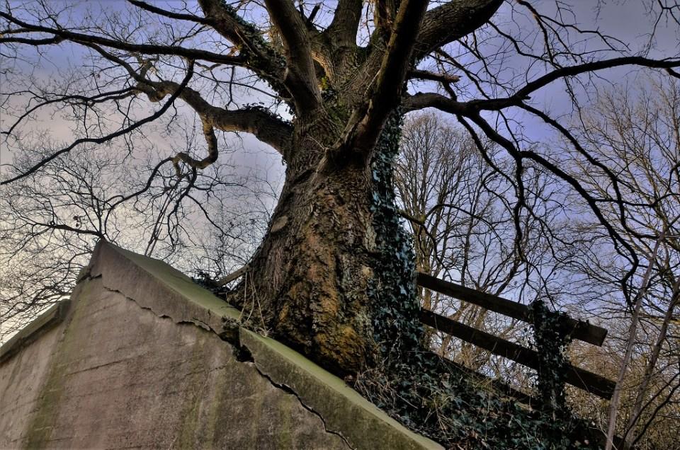 Een prachtige, grote boom op het oude fruitspoor.