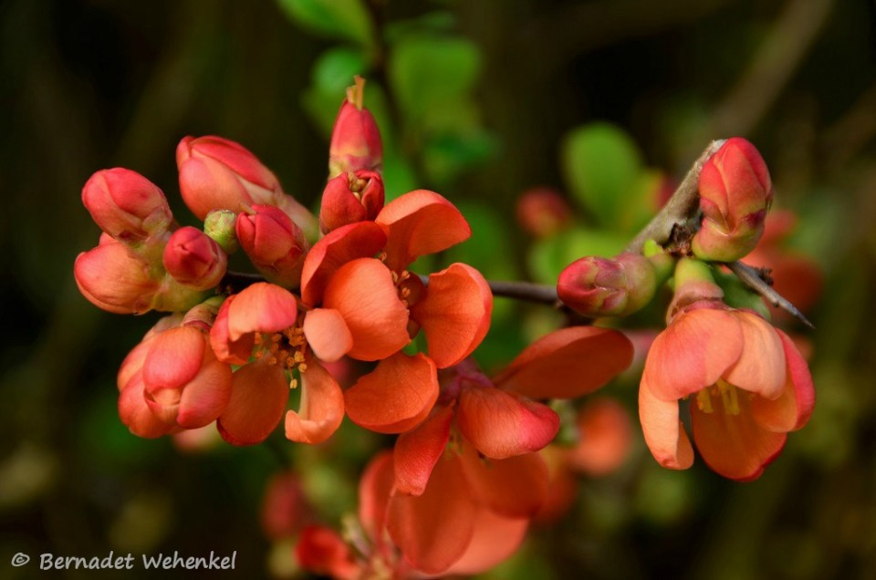 De dwergkwee, een struik vol met vervaarlijke stekels en zachtaardige bloempjes.