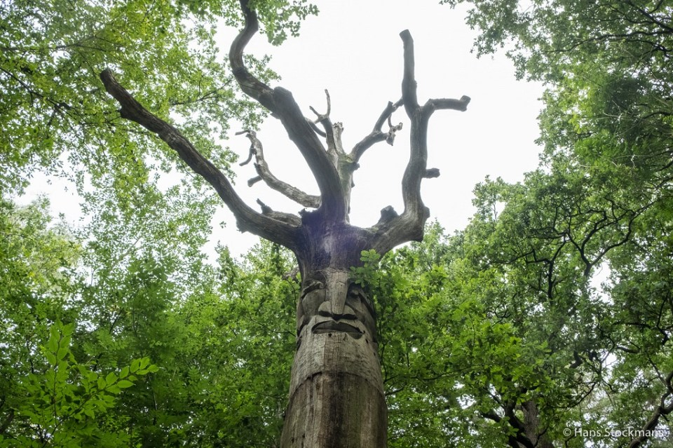 Als je ooit in Nieuwenhoven was, dan herken je deze boom zeker en vast.