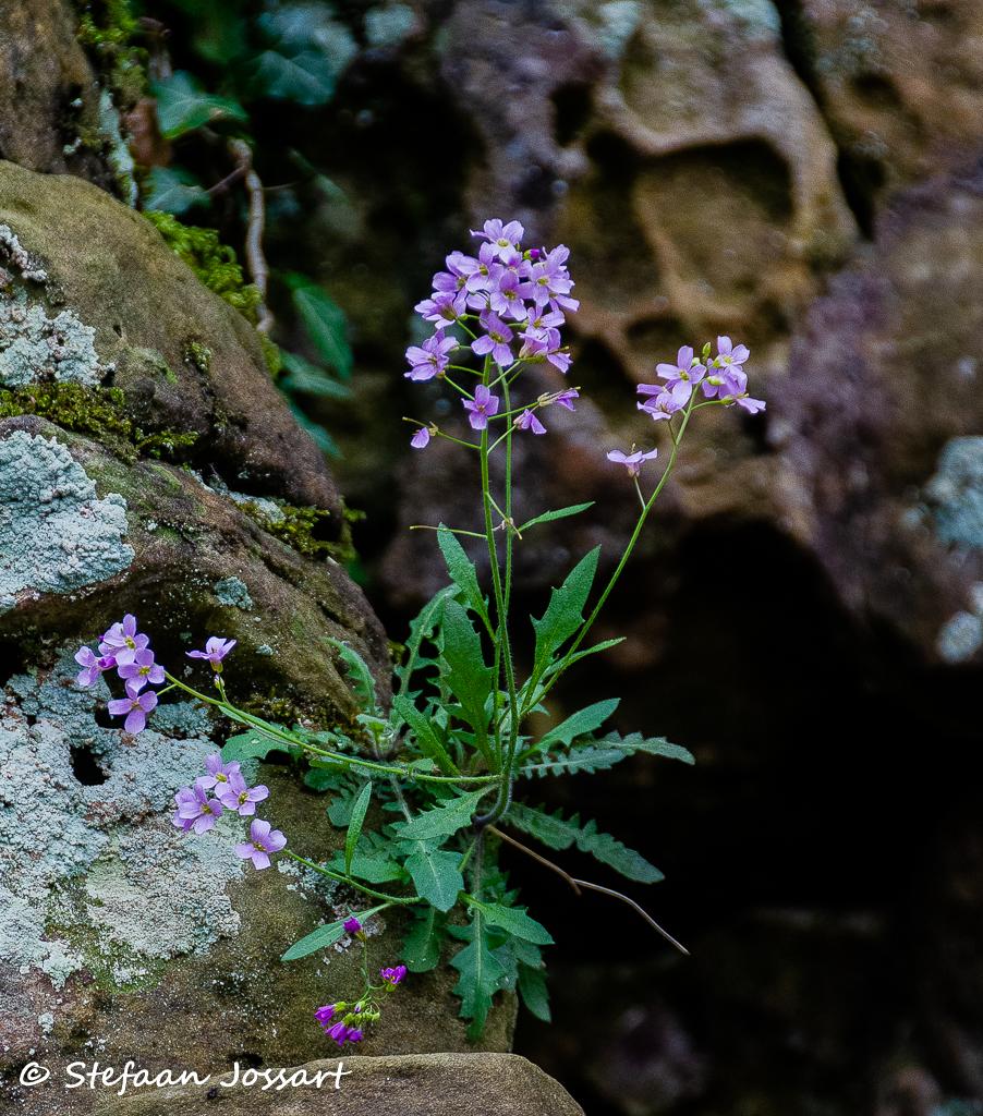 Pinksterbloemen groeien op de rotsen in Mullerthal.