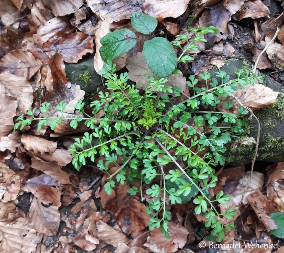 Onbekende plant in Mullerthal.