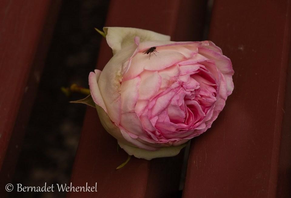 Gevallen roos op een bankje.