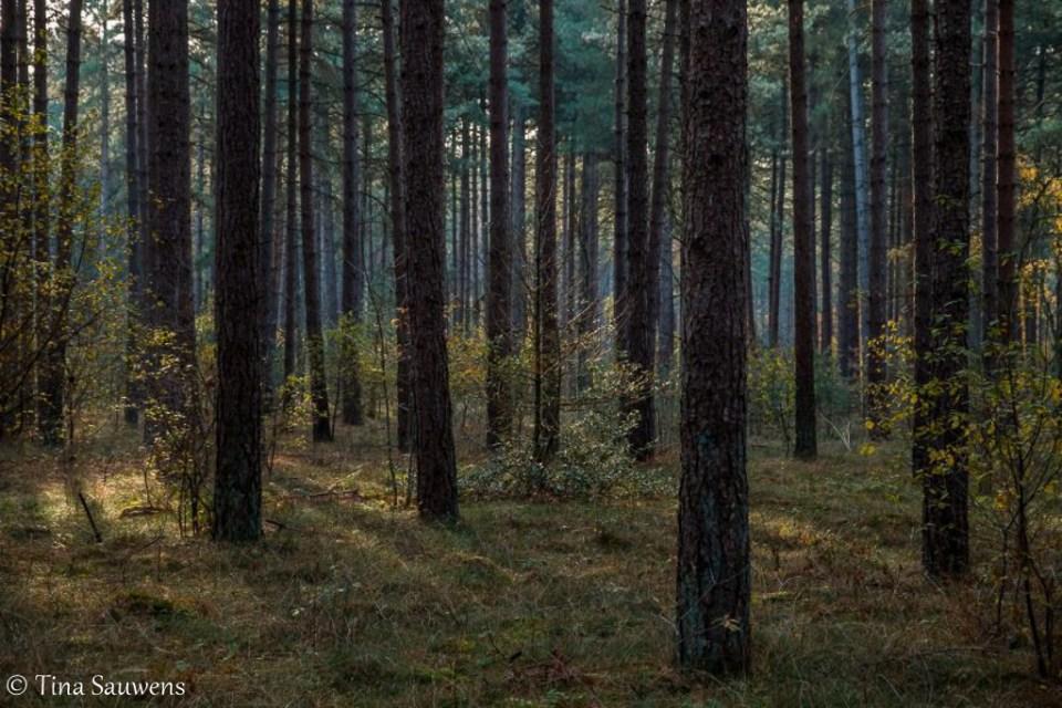 Naaldbomen in het Pijnven.