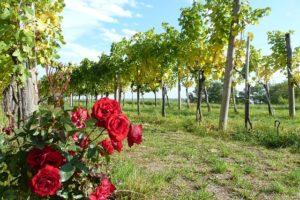 Rosales en viñedos