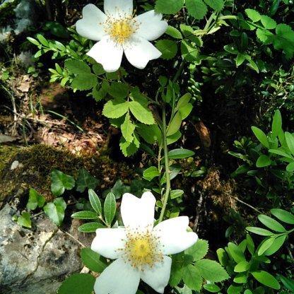 Ordesa-Flora_14