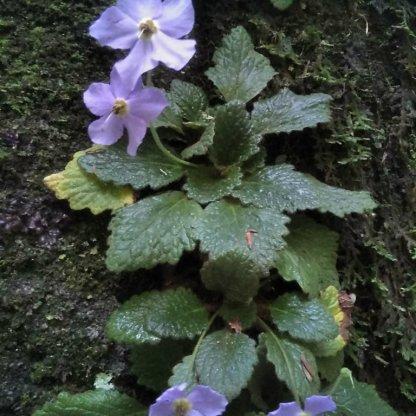 Ordesa-Flora_16