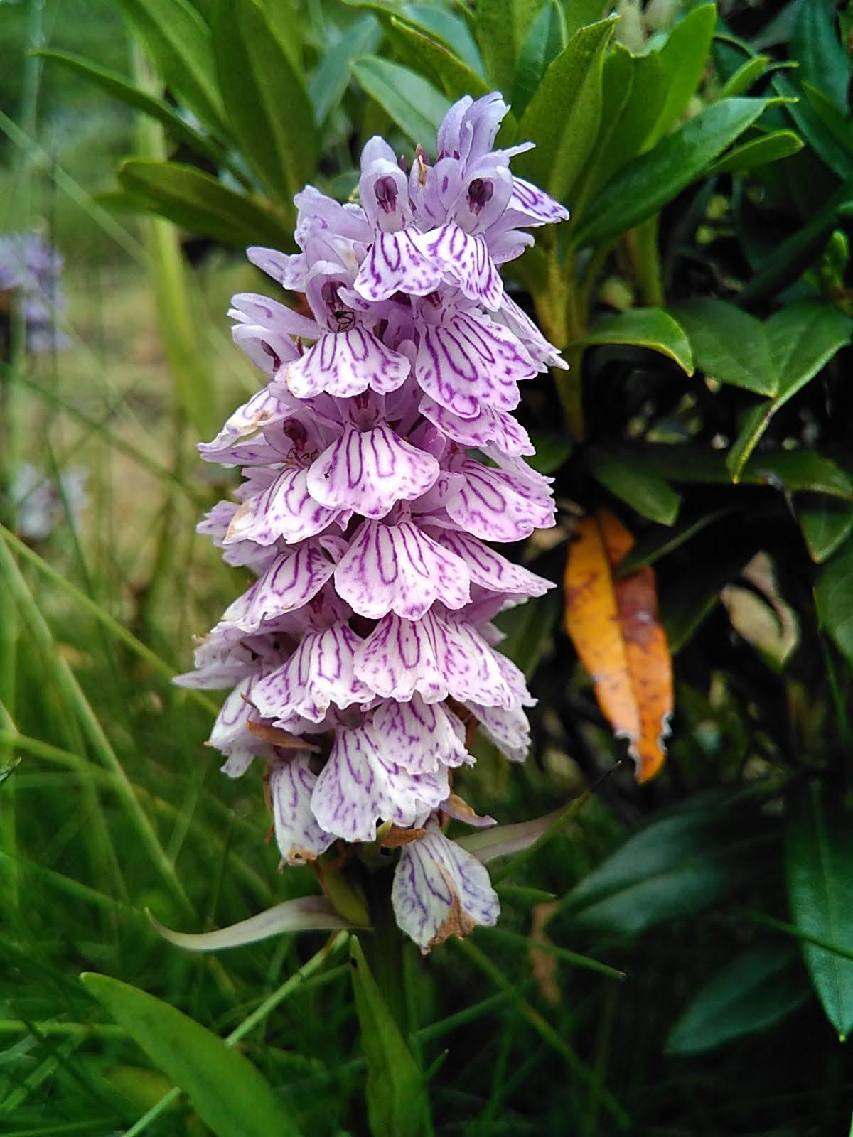 Orquídea de marzo leopardo