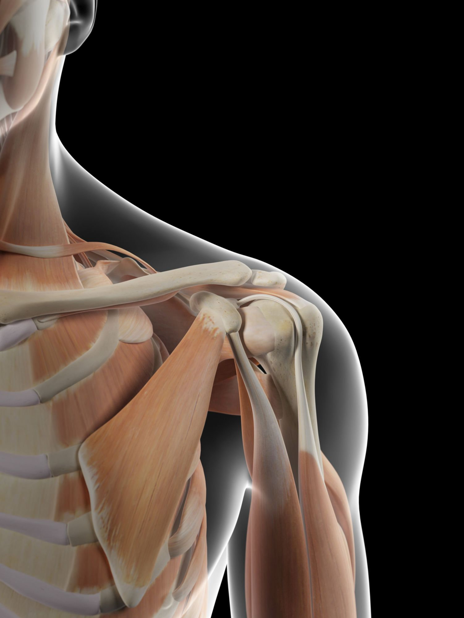 Anatomy Of The Human Shoulder Joint
