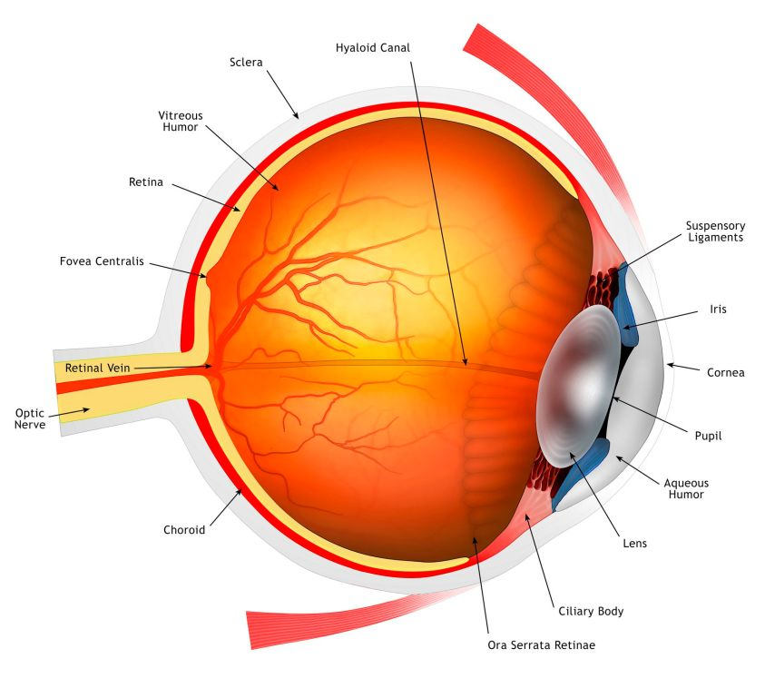 An Overview of Eye Anatomy