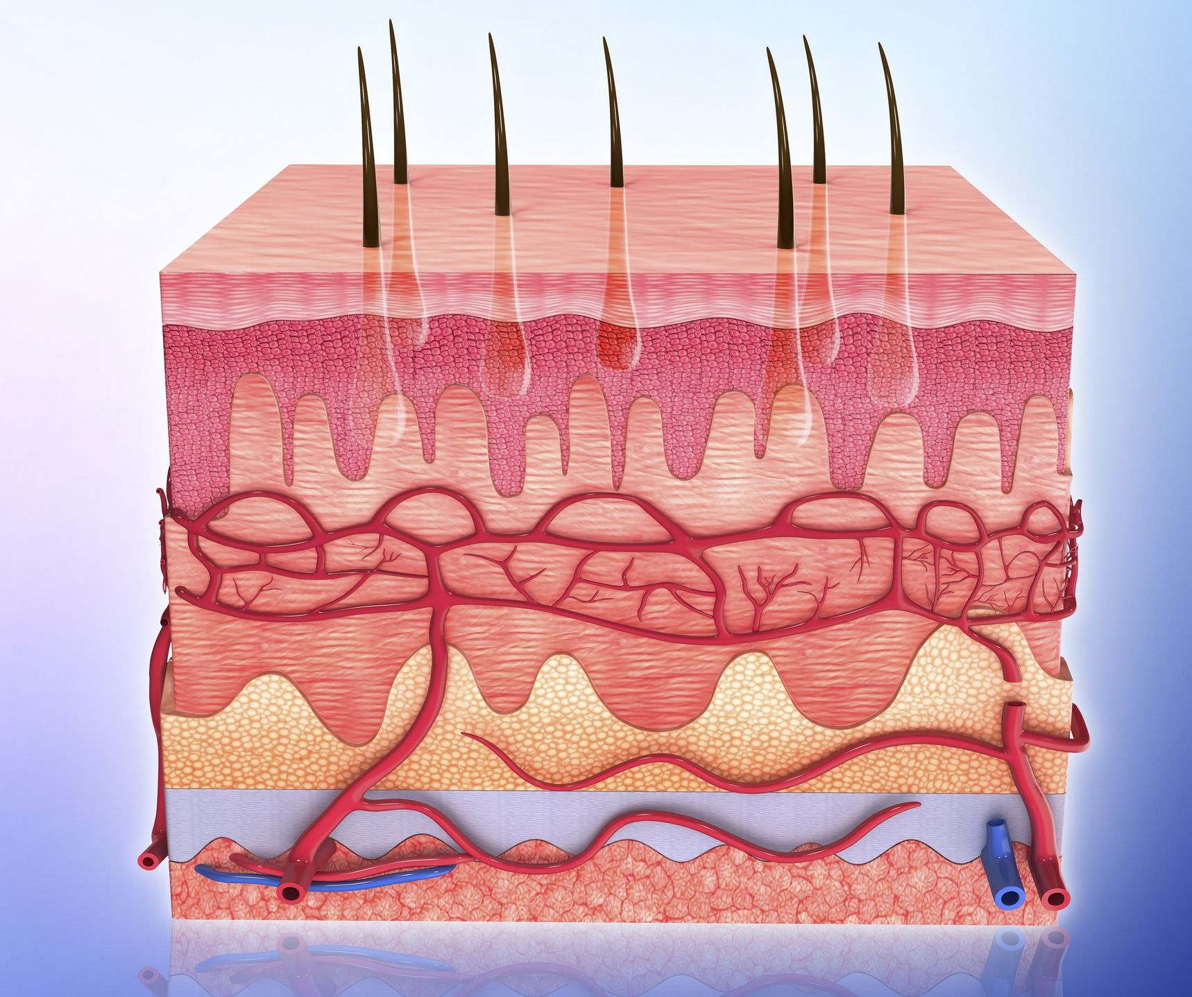 Subcutaneous Tissue Is The Innermost Layer Of Skin